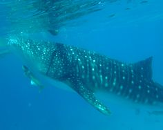 The whale shark is a widespread species - they are found in warmer waters, but in several oceans - the Atlantic, Pacific and Indian.