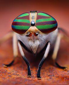 Macro photograph of female Striped Horse Fly (Tabanus lineola) (Photographer Thomas Shahan) Macro Photography Tips, Micro Photography, Insect Photography, Microscopic Photography, Photography Flowers, Photography Lighting, Macro Fotografie, Fotografia Macro, Cool Insects