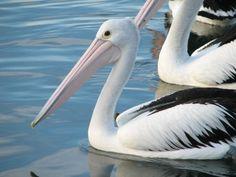 pelicans - HD1024×768