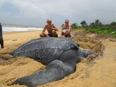 Say hello to the largest turtle on earth!  Growing up to 7 ft (2 meters) long and weighing in at over 2,000 pounds (900 kg) the leatherback sea turtle reaches its massive size soley on a diet of jellyfish and other soft bodied animals.  http://ryansobelart.com/