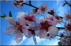 Fruit tree blossoms.