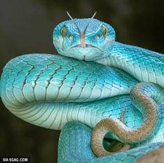Cute snakes with hats Pictures & information about the best little pets . - Cute snakes with hats Pictures & information about the best little pet snakes – YAH beautiful cre - Blue Pits, Les Reptiles, Reptiles And Amphibians, Pretty Animals, Animals Beautiful, Beaux Serpents, Snakes With Hats, Small Snakes, Cool Snakes