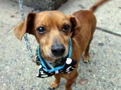 TO BE DESTROYED 12/21/15 **BRING DEVI HOME FOR CHRISTMAS! ON PUBLIC LIST!!** A volunteer writes: Wag, wag, wag... a friendly tail attached to a little sausage dog and how could I resist? Little Devi is a cute as can be, happy to make a new friend, housetrained, an amazingly good walker for a little senior dude, and as sweet as can be. He enjoyed some treats, taking them softly, happily met a couple of gentle big (very big!) dogs with a wagging tail and is a total delight. I was shocked to…
