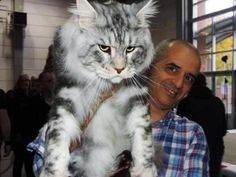 17 Massive Cats (Who Make Their Humans Seem SO Small)