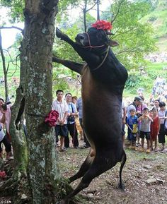 "PLEASE SIGN & SHARE WIDELY THIS PETITION  ➨http://www.change.org/petitions/don-t-hoist-bind-and-starve-bulls-for-superstition HERE AGAIN OUR FRIENDS THE CHINESE WITH THEIR PATHETIC ""CULTURE TRADITIONS"" TOWARD ANIMALS..  Horrifying moment a live bull is hung from a tree until it dies for Chinese 'luck' festival! Picture:Horrifying: In front of families and young children the bull is hauled up and hanged until it dies slowly..slowly !"