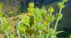 Τσάι βουνού Mother Nature, Natural Remedies, Herbalism, Herbs, Healthy, Garden, Plants, Herbal Medicine, Garten