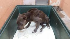 *URGENT - FOSTER NEEDED!*  This beautiful blue girl was surrendered to a local shelter today because her former owners could no longer take care of her. She has been described as a great dog, although she is fearful (shelters can be a VERY intimidating place, especially to a new arrival!) and is starving (as evident by the picture). The shelter she is sitting in has given her 24 HOURS to be pulled by rescue. That's it. No more. This 7-year old beauty should not have to die like this: s