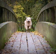 Soft-coated wheaten terrier flies over a bridge.