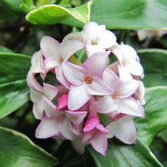 Daphne odora Aureomarginata