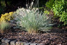 Awena wiecznie zielona między lawendę Herbs, Plants, Herb, Plant, Planets, Medicinal Plants