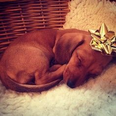 dachshund love | best stuff-- I will always accept this under the christmas tree