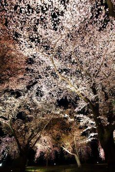 満開のライトアップされた桜につつまれた京都の二条城