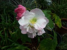 Confederate Rose - starts out white and quickly changes to pink and then even darker.