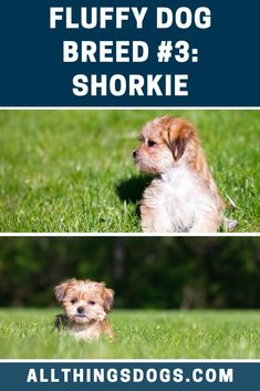 Most love the Shorkie for their soft and wavy hypoallergenic coat; however this fluffy white dog is best suited to adult only homes, since the intensely loyal Shih Tzu Yorkie Mix is a huge character in a small body. Read on to learn more. Maltese Shih Tzu, Shih Tzu Dog, Yorkie, Corgi Husky Mix, Poodle Mix Puppies, Fluffy Dog Breeds, Fluffy Dogs, White Fluffy Dog, White Dogs