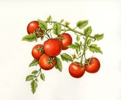 Fruits & Vegetables Gallery Full — Botanical Artist & Illustrator ...