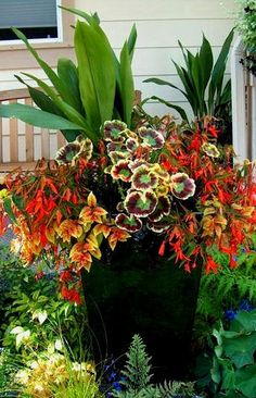 Image result for canna and begonia