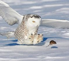 Snowowl and mouse