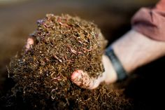 Worms Produce Another Kind of Gold for Farmers - NYTimes.com