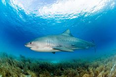 In the Realm of the Tiger Shark Shark Photos, Biologist, Underwater, Diving, Beach, Photography, Life, Animals, Instagram