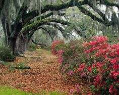 Azaleas and weeping willow trees