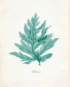 Vintage Green Sage Sea Weed Delesseria Print 8x10 by OrangeTail, $14.00
