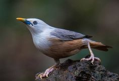 Malabar, Malabar White-headed or Blyth's Starling - S. Love Birds, Beautiful Birds, Types Of Animals, Backyard Birds, Bird Illustration, Starling, Exotic Birds, Bird Watching, Bird Feathers