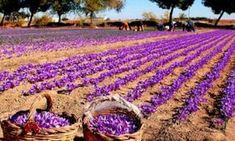 Live All Process Of Saffron Production In La Mancha, Spain. Good To Know, Spain, Cancer, Spices, Red, Outdoor, Cinnamon, Vanilla, Red Gold