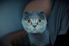 #picture #photo #photography #cat #scotishfold #portrait