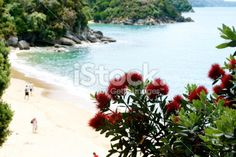 New Zealand Pohutukawa & Seascape Royalty Free Stock Photo Abel Tasman National Park, New Zealand Beach, Seaside Towns, Beach Fun, Image Now, Beautiful Beaches, Coastal, National Parks, Royalty Free Stock Photos
