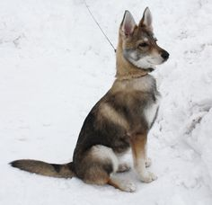 Tamaskan pup, most likely the dog we're getting this spring (The live mascot for State is a Tamaskan as well, added bonus)