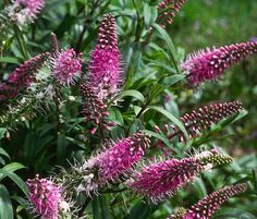 """'Great Orme"""" Hebe - Blooms Late Summer until Frost. Full Sun. Add Hebe back into the yard."""