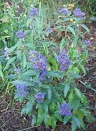 caryopteris clandonensis grand bleu 2014