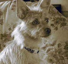Cairn Terrier | cairn-terrier-0074.jpg