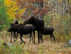 The Moose Family - New Hampshire, NH, United States Moose Deer, Moose Hunting, Cute Wild Animals, Animals And Pets, Racing Extinction, Moose Pictures, Save Nature, Deer Family, Wild Spirit