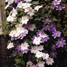 Clematis plants are lovely flowering vines that require minimal care.