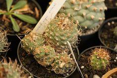 Turbinicarpus polaskii