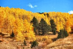 An aspen stand facing the backside of Pikes Peak. My photo.