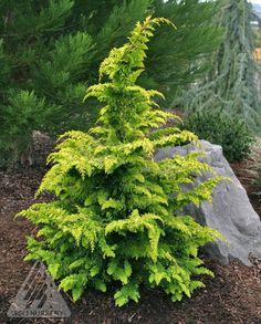 Might work well for back bed, 6T x 4W     Kigi Nursery - Chamaecyparis obtusa ' Fernspray Gold ' Golden Hinoki Cypress, $12.50 (http://www.kiginursery.com/on-sale/chamaecyparis-obtusa-fernspray-gold-golden-hinoki-cypress/)