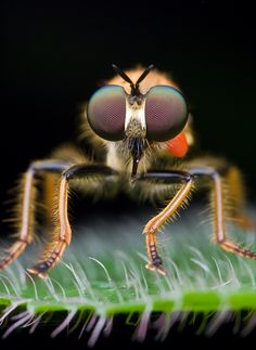 Amazing Eyes Face to face with a robber fly by Kurt Orionmystery G, via 500px