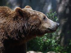 Italy - Lazio - Marsican Brown Bear (Orso Bruno Marsicano) from Abruzzo, Lazio and Molise National Park
