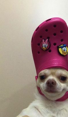 15 Photos Confirming That Chihuahuas Love Pink