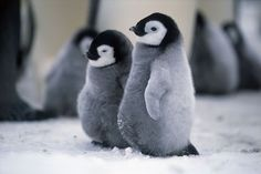 March of the Penguins Cute Creatures, Sea Creatures, Beautiful Creatures, Animals Beautiful, Cute Funny Animals, Cute Baby Animals, Animals And Pets, Penguin Pictures, Cute Animal Pictures