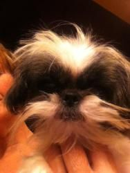Humphrey is an adoptable Shih Tzu Dog in Chattanooga, TN. JUDY 423-718-0939 WOW - this is a fabulous little boy. He is a pure ShihTzu BUT he is called an IMPERIAL ShihTzu because he is SO SMALL. He is...