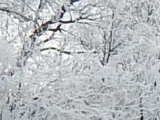 FROSTED LIMBS OF TREES- PHOTO BY RHODA ELLEN STEVENS BOUNDS