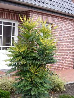 ie Mahonie ist nicht nur eine immergrüne Pflanze, sorgt also im Winter für grüne Farbmomente im Garten, sondern blüht auch in der kalten Jahreszeit in leuchtendem Gelb.
