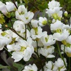 Arabis caucasica Plena - Arabette du Caucase