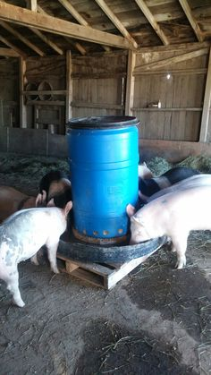 Happy pigs with the new automatic feeder. Happy pigs with the new automatic feeder. Livestock Farming, Pig Farming, Backyard Farming, Farming Ideas, Poultry Farming, Farm Animals, Animals And Pets, Automatic Feeder, Happy Pig