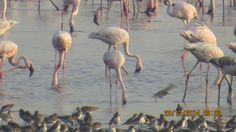 Quenching thirst by Flamingos