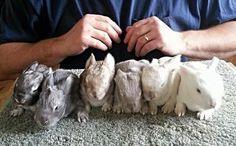 Angora rabbit colors