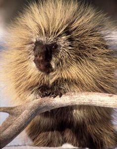 Mike Bacon Photography: Porcupine